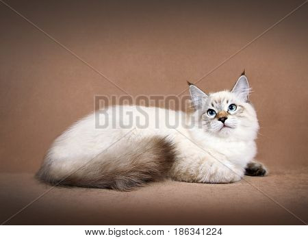 Young siberian neva masquerade colorpoint kitten on brown background