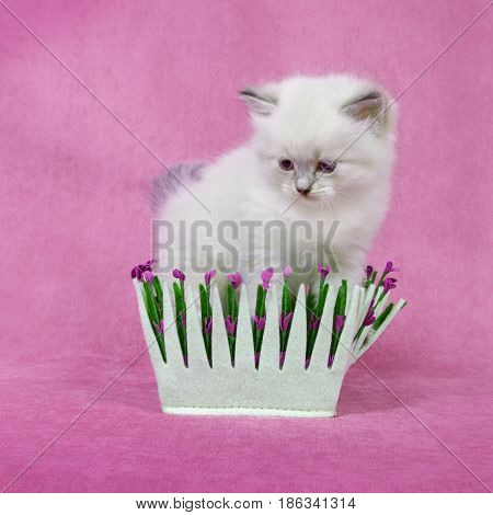 Small siberian neva masquerade colorpoint kitten in basket  on pink background