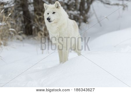 An Arctic Wolf in a snowy forest hunting for prey.