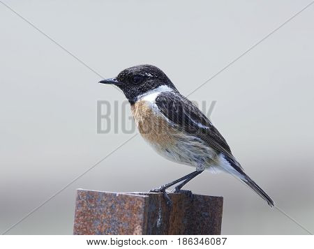 European stonechat sitting on a metal pole in its habitat