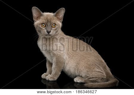 Playful Blue Burmese Kitten with yellow eyes Sitting on Isolated Black Background, side view