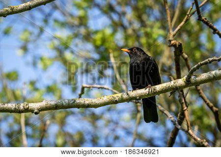 Blackbird Sitting On A Branch In A Tree