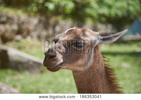 Portrait Of Lama Animal