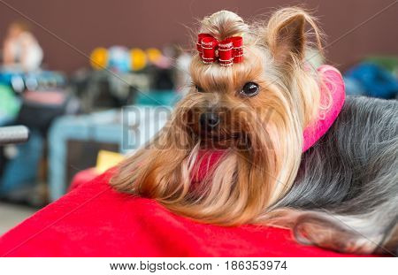 Portrait of a beautiful Yorkshire terrier. Dog lying down