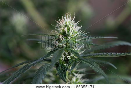 Early Flowering of female marijuana cannabis plant
