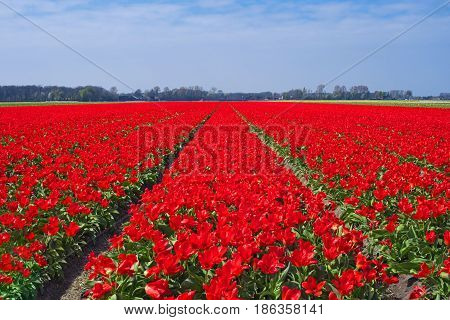 Tulip field near Keukenhof Netherlands Europe. Famous bulb fields with blooming flowers in Holland. Dutch field with red tulips. Beautiful spring landscape. Scenery of tulip farm in North Holland
