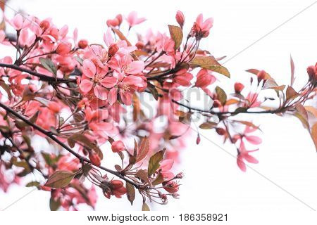 Gently pink inflorescence of sakura on a white background
