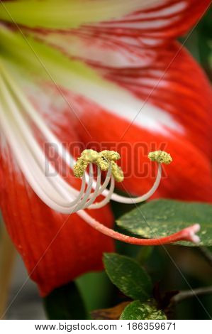 Amaryllis Bloom, Red And White Striped
