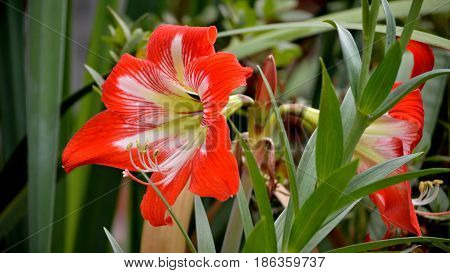 Amaryllis Blooming, Red And White Striped