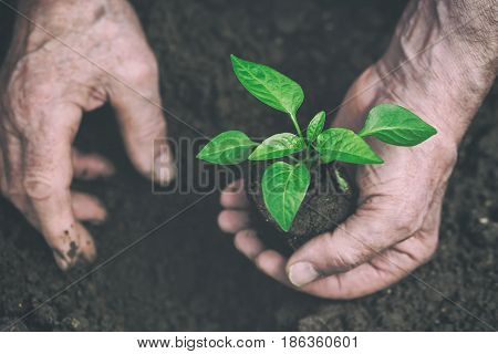 Men hand are planting the seedling into the soil. Toned image. Focus on seedling.