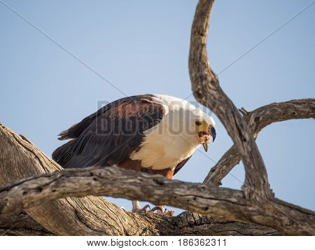 Portrait of giant African Fish Eagle sitting in dead tree and feeding on a fish, Chobe NP, Botswana, Africa.