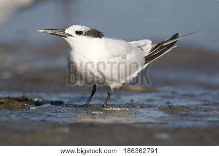 Sandwich Tern, Thalasseus Sandvicensis