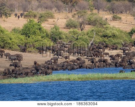 Large herd of water buffalos drinking from Chobe River, Chobe NP, Botswana, Africa.