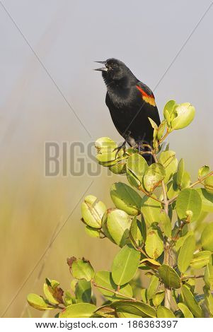 Red-wing Blackbird calling from mangrove tree with grey background