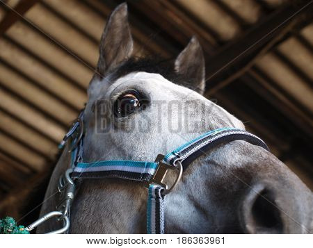 horse head with halter standing in stable