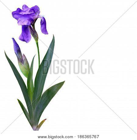 spring flowers iris isolated on white background.
