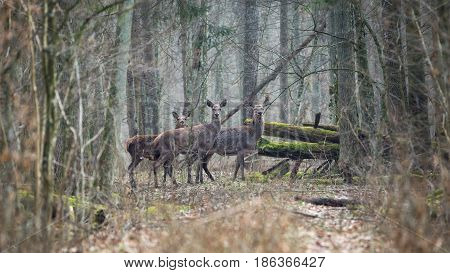 Forest landscape with several young brown deer in the thicket of the spring forest.A few carefully watching the deer in the depths of the spring forest.Forest landscape with young deer in 16: 9 format. Belarus, Bialowieza Forest Reserve.Poland