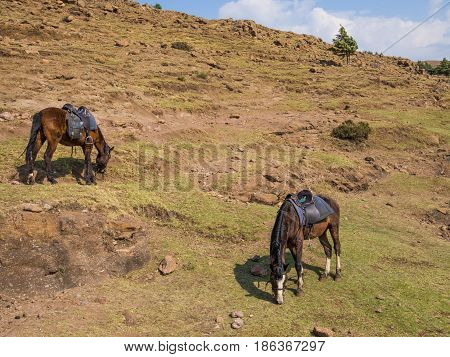 Basuto pony or horse grazing peacefully in the mountains of Lesotho, Africa.