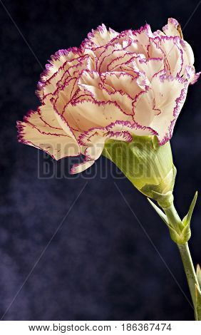Single white purple Terry carnation flower dark background Macro shot
