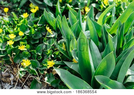 Blooming lesser celandine or Ficaria verna and fresh green tulip leaves for spring background.