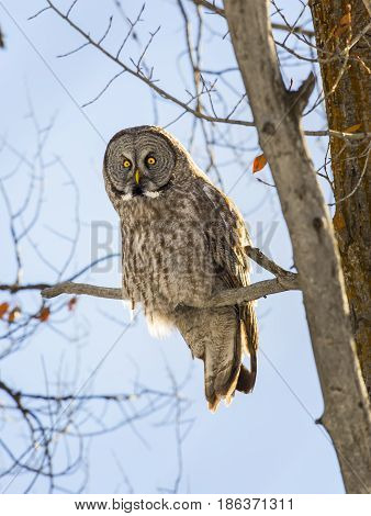 Great Grey Owl On Cottonwood Tree With Blue Sky Background In Middle Of Winter
