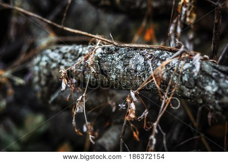 Close up tree branch covered with old dark bark and some dry branches on it