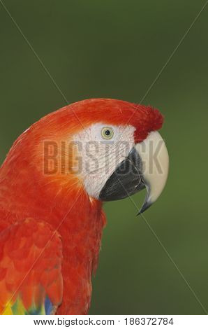 Macaw, Ara Severa