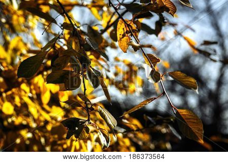 Close up branches with yellow leaves in fall for beautiful natural background