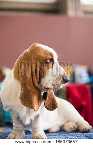Basset Hound. Healthy purebred dog photographed .