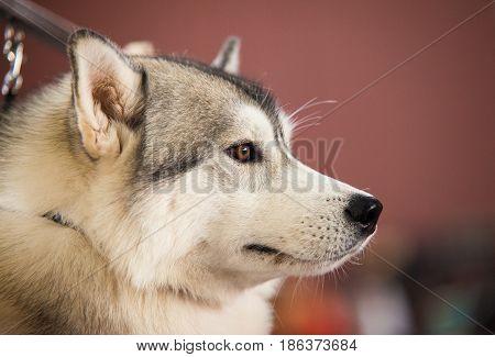 Head of a beautiful Alaskan Malamute. Portrait of a dog