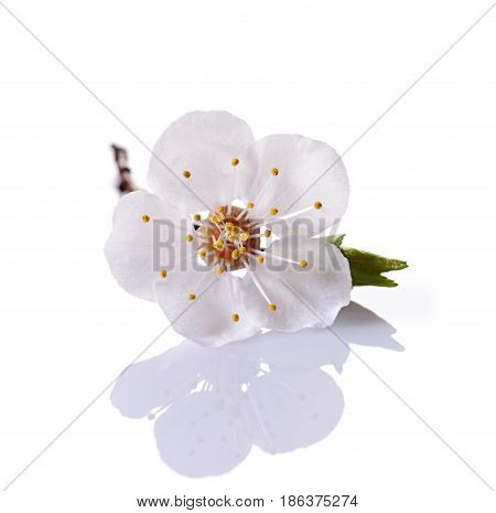 Spring Cherry Blossom Branch With Single White Flower