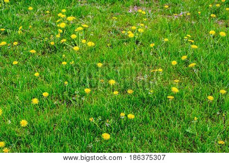 Meadow with grass and marsh marigolds on spring in Poland.