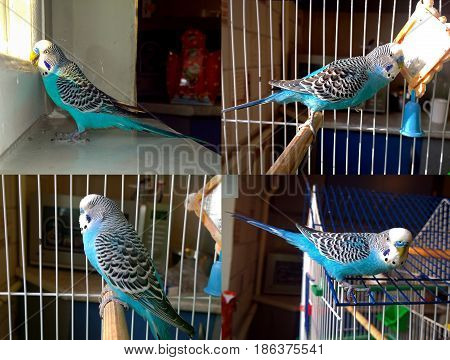 A blue wavy parrot sleeps on a perch in a cage is by a mirror on a window sill by the window and sits on a cage