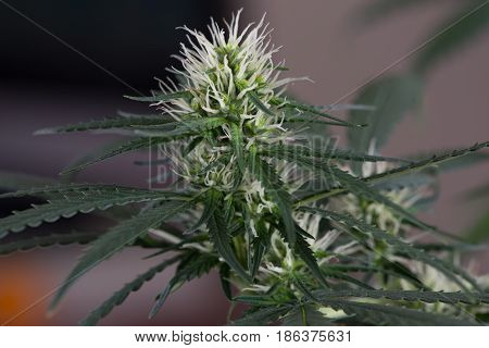 Female marijuana cannabis flower early stage of flowering