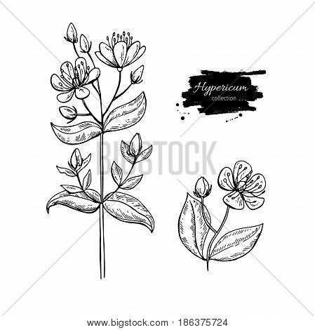 St. John's wort vector drawing set. Isolated hypericum wild flower and leaves. Herbal engraved style illustration. Detailed botanical sketch for tea, organic cosmetic, medicine, aromatherapy