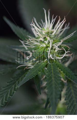 Cannabis Female Marijuana flower and Pot Leaves