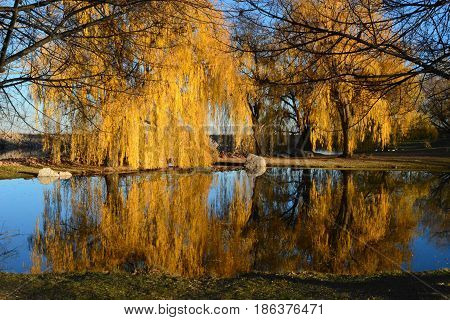 Gold colored weeping willow reflection over pond in the autumn