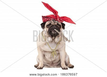 cute pug puppy dog being high on smoking marijuana weed joint isolated on white background