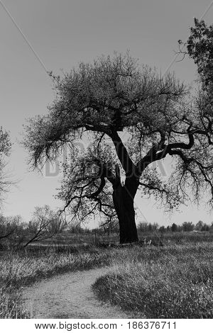 Isolated cottonwood tree in black and white