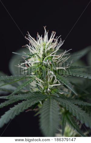 Cannabis marijuana plant close up macro of flower