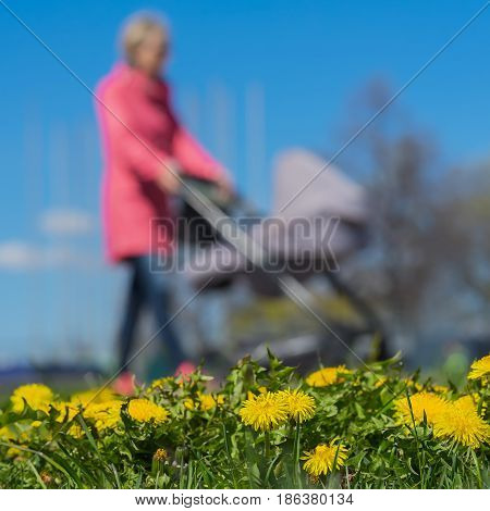 Blurred background of Young women with kids in pram, park, spring season, green grass meadow and bright yellow young dandelions, square