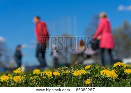 Blurred background of Young family with kids, pram in park, spring season, green grass meadow, In the foreground, bright yellow young dandelions