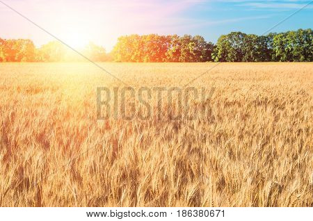 Wheat in the field ears of golden wheat close up agriculture natural background of ripening ears of wheat field harvest concept. Morning landscape