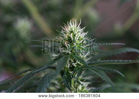 Macro of Cannabis Marijuana Flower Flowering Early Stage