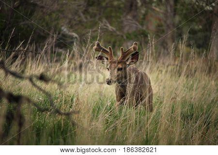 A young mule deer buck walks slowly through the grass.