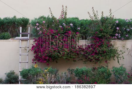 Stucco wall with primitive wood ladder and terraced gardens featuring bougainvillea with fuchsia flowers, flowering oleander and other plants.