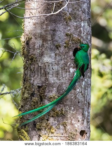 Male Grand Resplendent Quetzal at its nest in the forest in Costa Rica