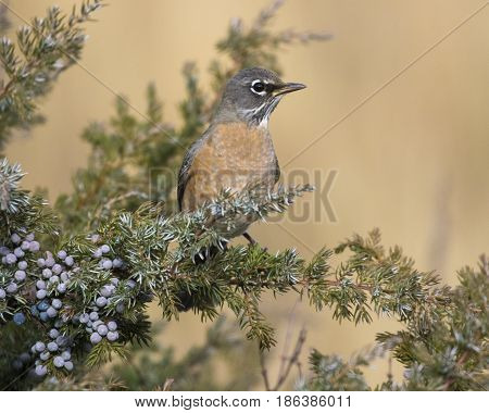 American Robin Sitting In Juniper Bush With Blue Berries On Stems