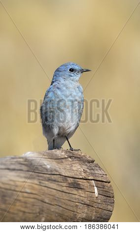 Male Mountain Bluebird Sitting On A Large Log With Brown Background