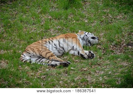 A tiger laying in the green grass